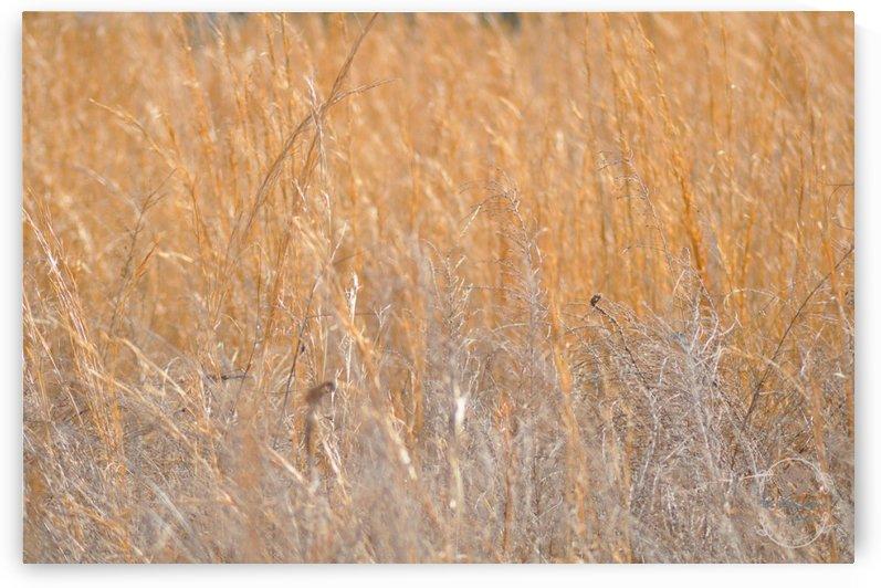 Golden Field by Amber Handy