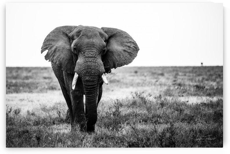 Le vieil elephant by Sophie Thibault