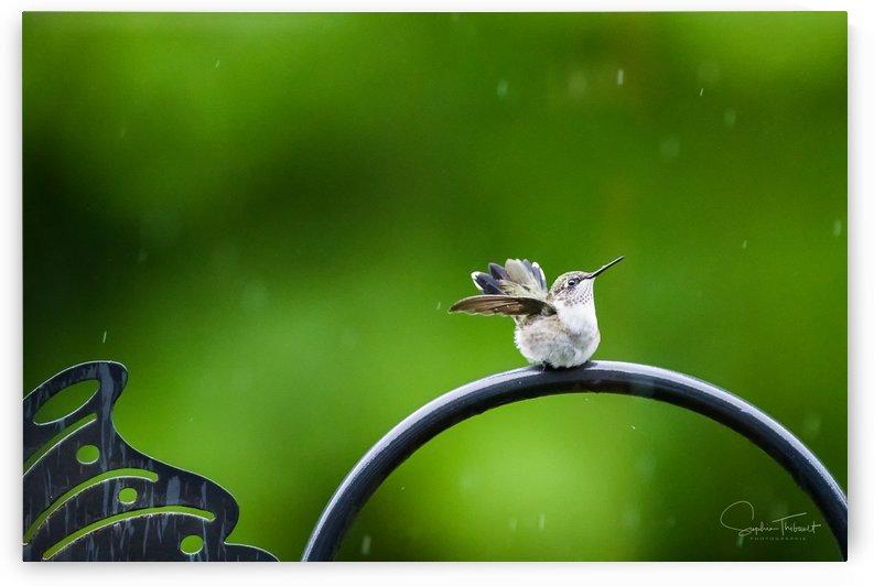 Colibri sous la pluie by Sophie Thibault