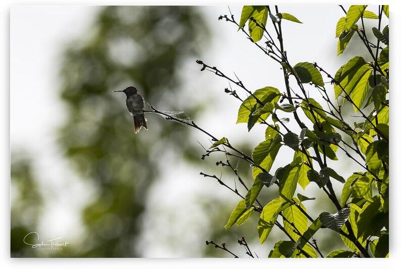 Colibri en vert by Sophie Thibault