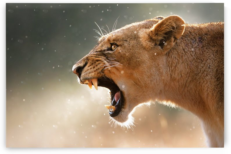 Lioness in the rain by Johan Swanepoel