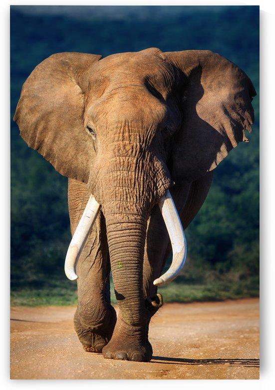 Elephant approaching by Johan Swanepoel