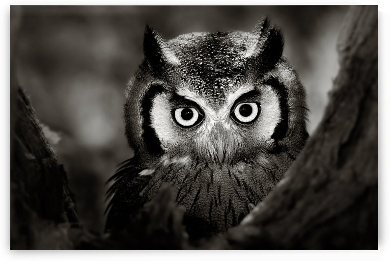 Whitefaced Owl close-up by Johan Swanepoel
