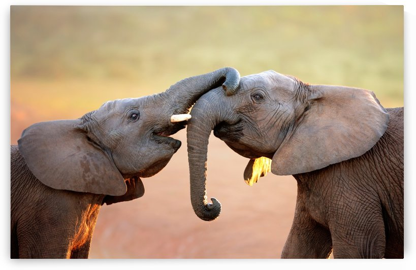 Elephants touching each other gently (greeting) by Johan Swanepoel