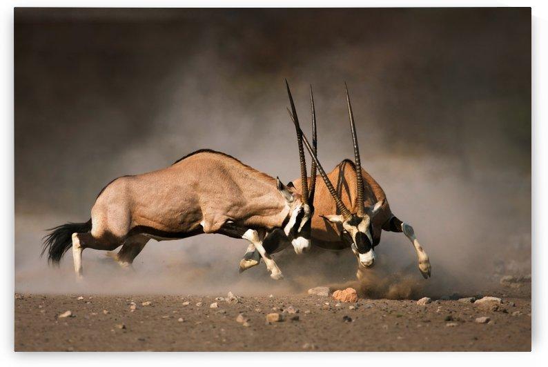 Gemsbok fight by Johan Swanepoel