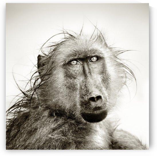 Wet Baboon portrait by Johan Swanepoel