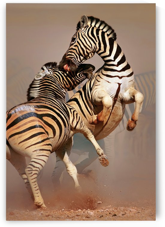 Zebras fighting by Johan Swanepoel