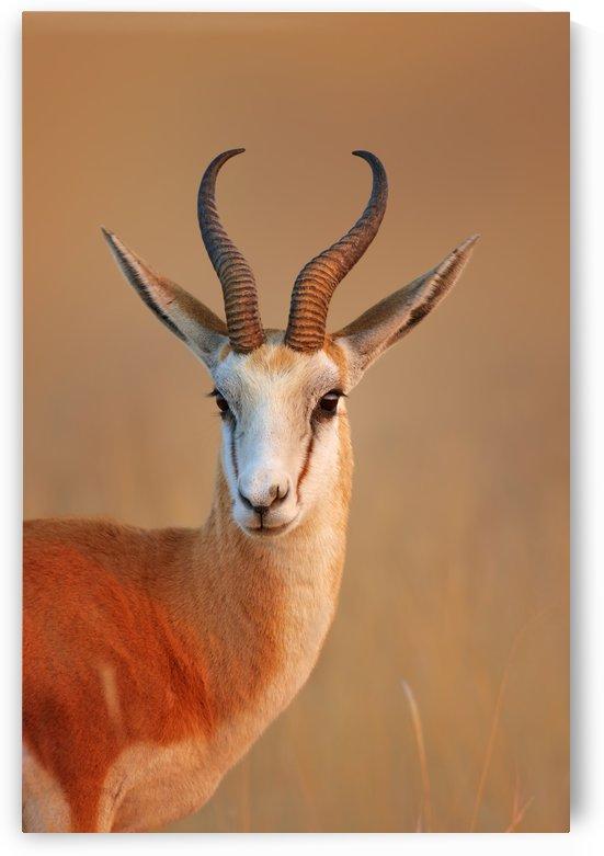 Springbok  portrait by Johan Swanepoel