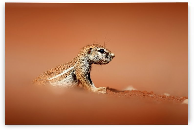 Ground squirrel on red desert sand by Johan Swanepoel