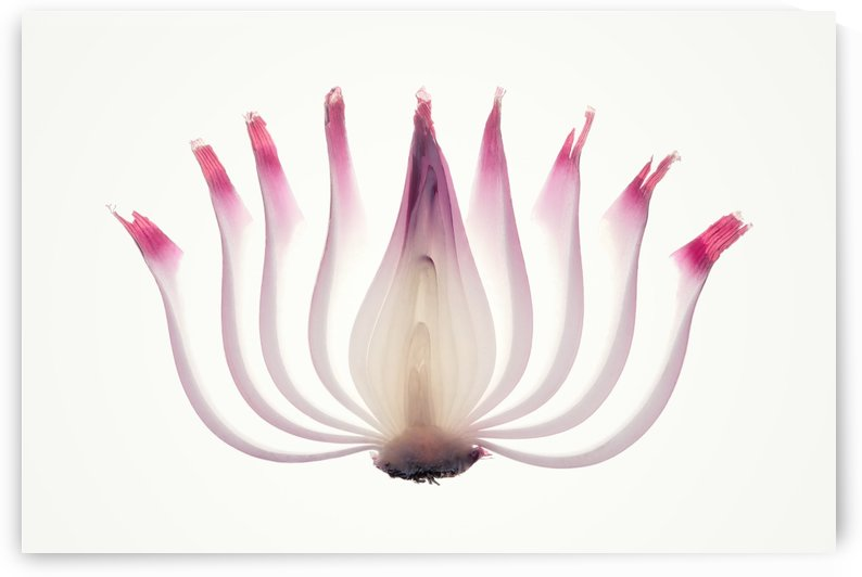 Red Onion Translucent peeled layers by Johan Swanepoel