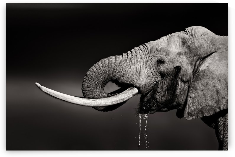 Elephant bull drinking water by Johan Swanepoel