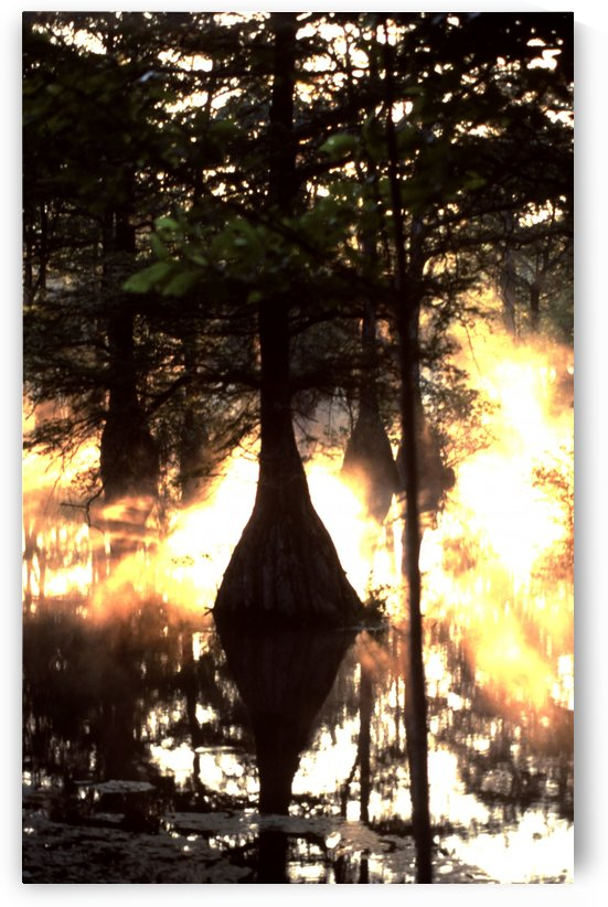 Bald Cypress Sunbreak by Greene Safaris Productions
