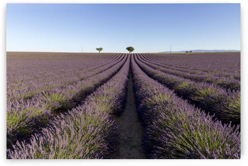 Lavender field in Provence by Pietro Ebner