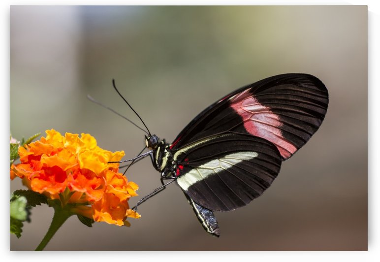 Red postman butterfly by Pietro Ebner