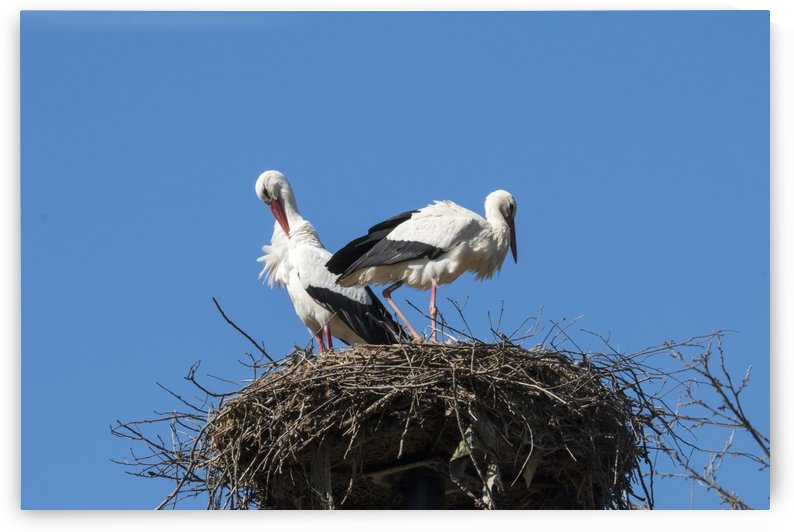 Two storks by Pietro Ebner
