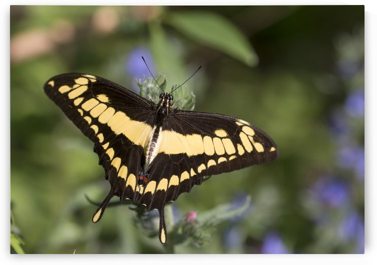 King swallowtail butterfly by Pietro Ebner