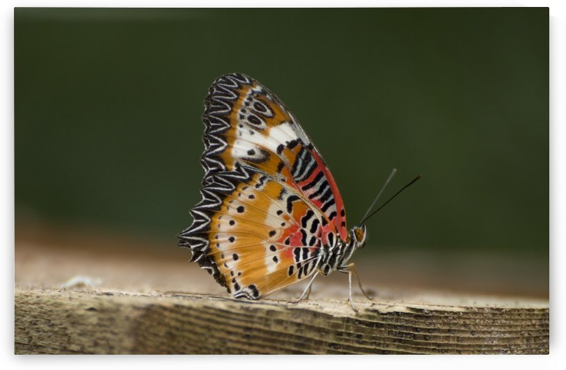 Leopard lacewing  by Pietro Ebner