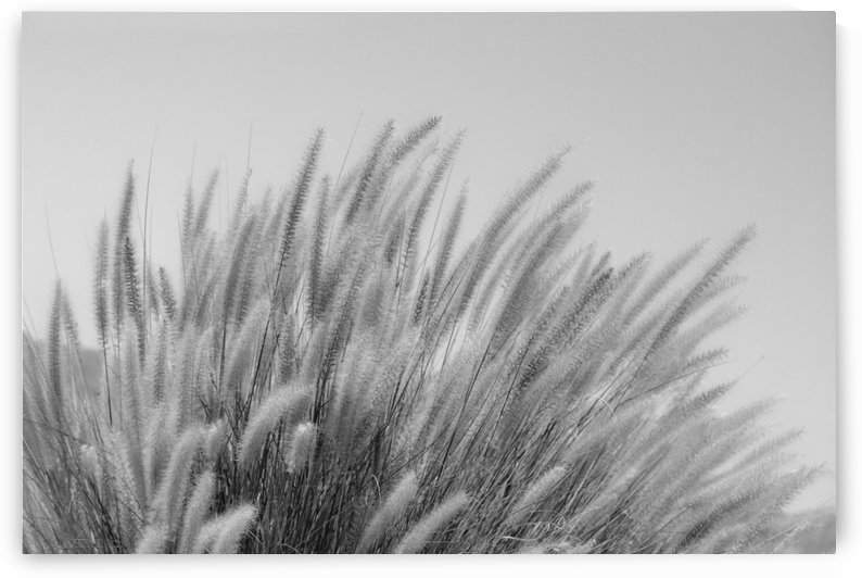 Foxtails on a Hill in Black and White by Leah McPhail