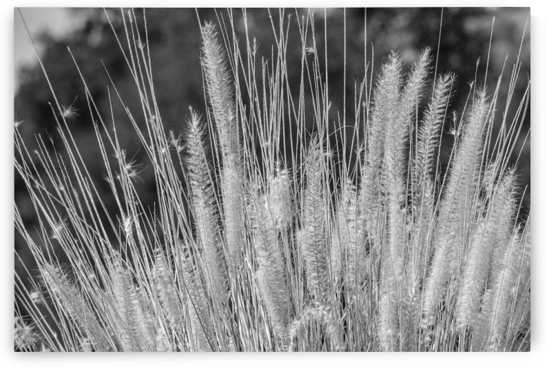 Foxtails on a Hill in Black and White 2 by Leah McPhail