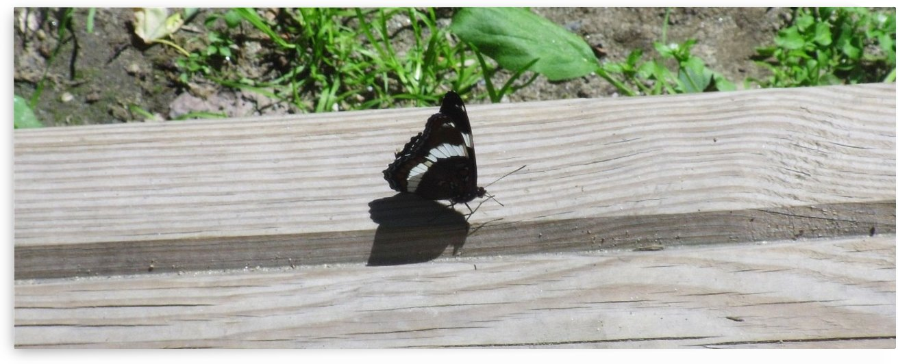 Black Butterfly by prettynaturepictures