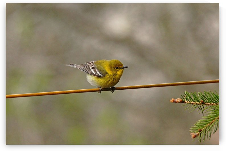 Warbler On The Line by Deb Oppermann