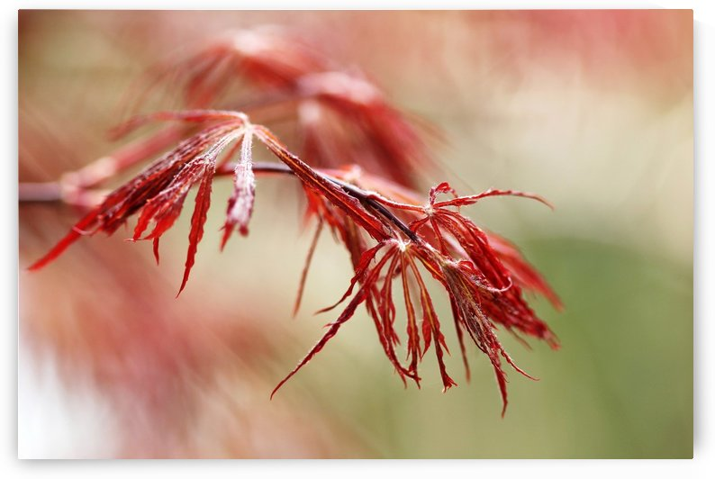 Red Lace by Deb Oppermann