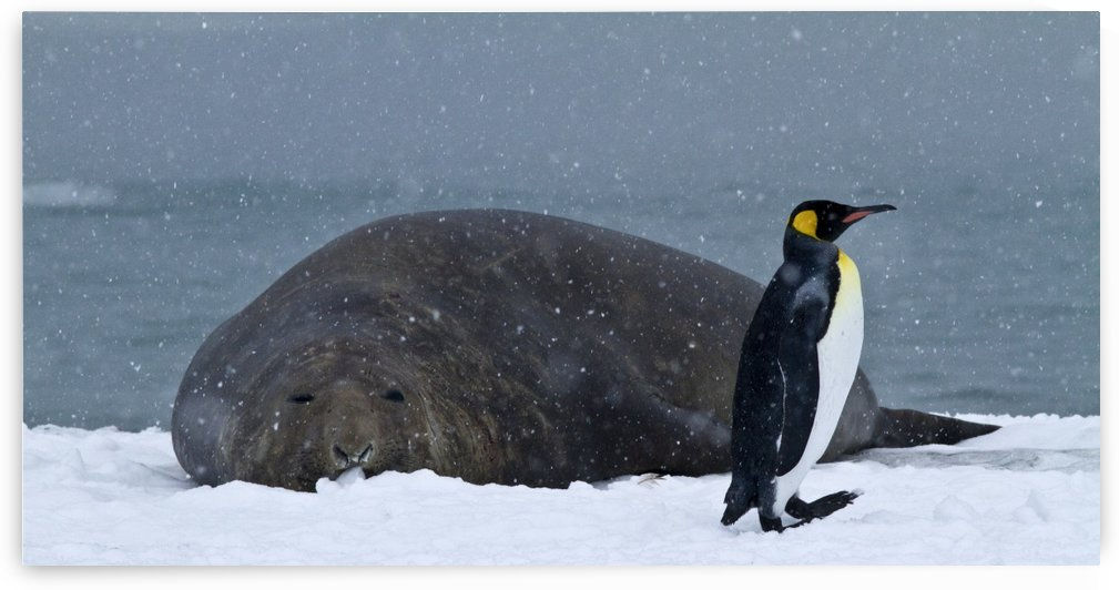 King Penguin walking nest to Elephant Seal by Kaye