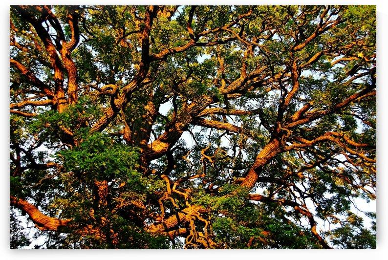 Sunset Oak by Deb Oppermann