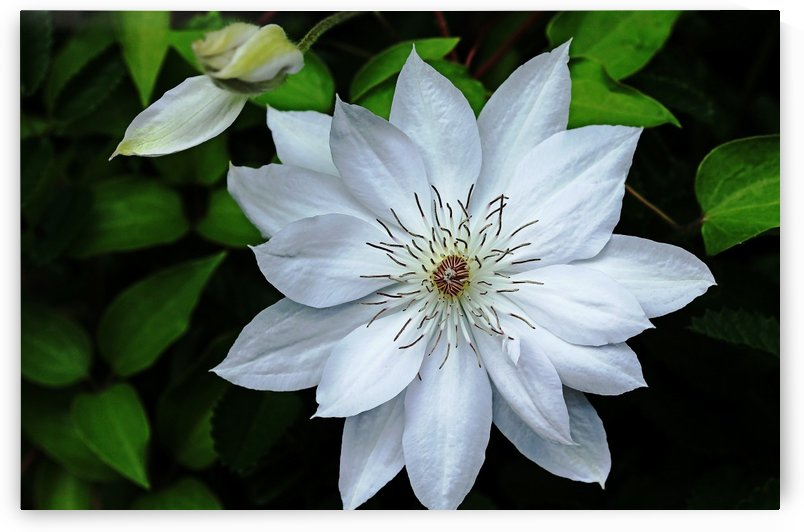 Classic White Clematis by Deb Oppermann