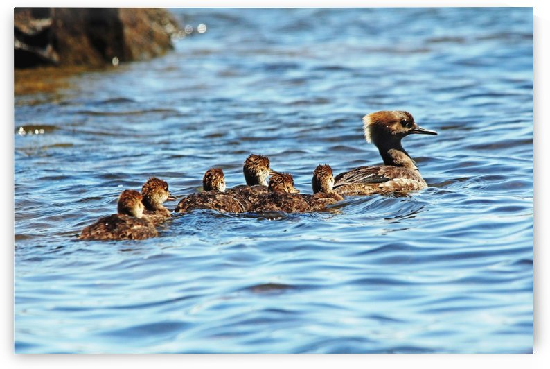Hooded Merganser Family by Deb Oppermann