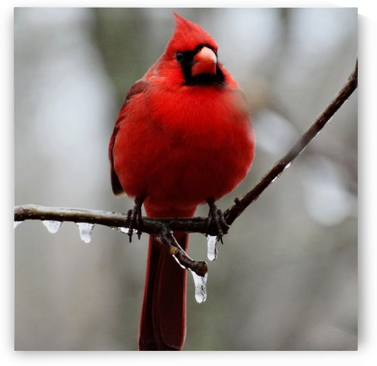 Winter Cardinal by Greene Safaris Productions