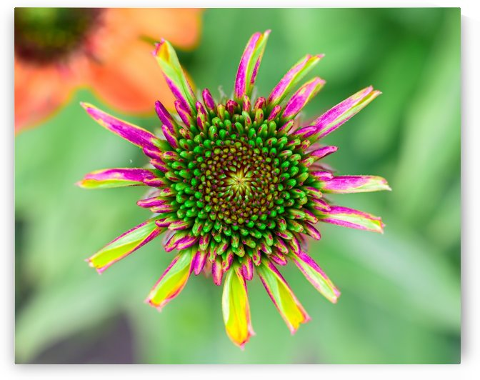 Echinacea by Lrenz