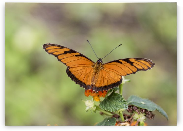 Julia heliconian butterfly by Pietro Ebner
