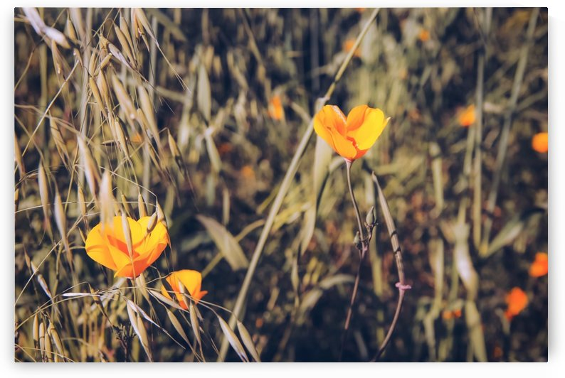 yellow poppy flowers with green leaves texture background by TimmyLA