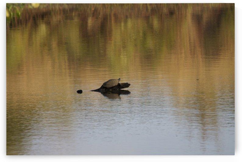 Turtle Sunbathing by Zikia Smith