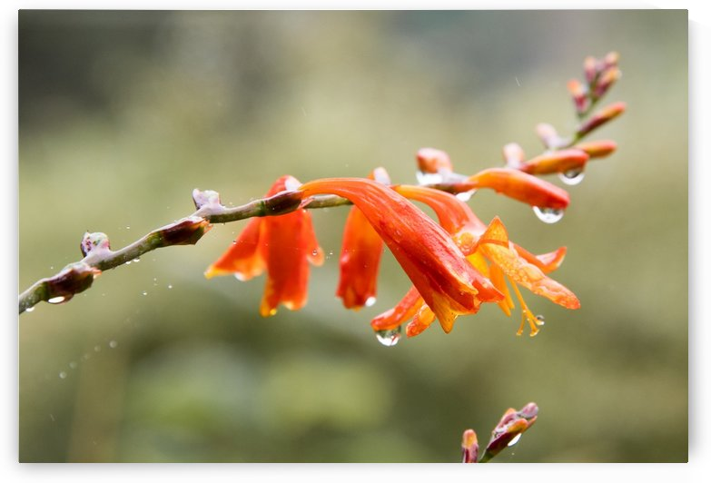 Orange Blooms with droplets by Grant Cookson