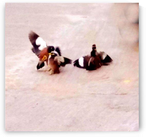 Mynahs fighting by Nilu Mishra