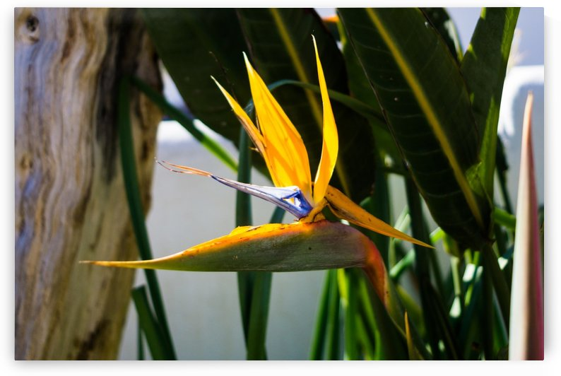 Strelitzia flower by Massimo Russo