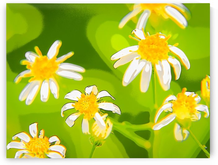 My Daisies - Mes Marguerites by Carole Ledoux Photography