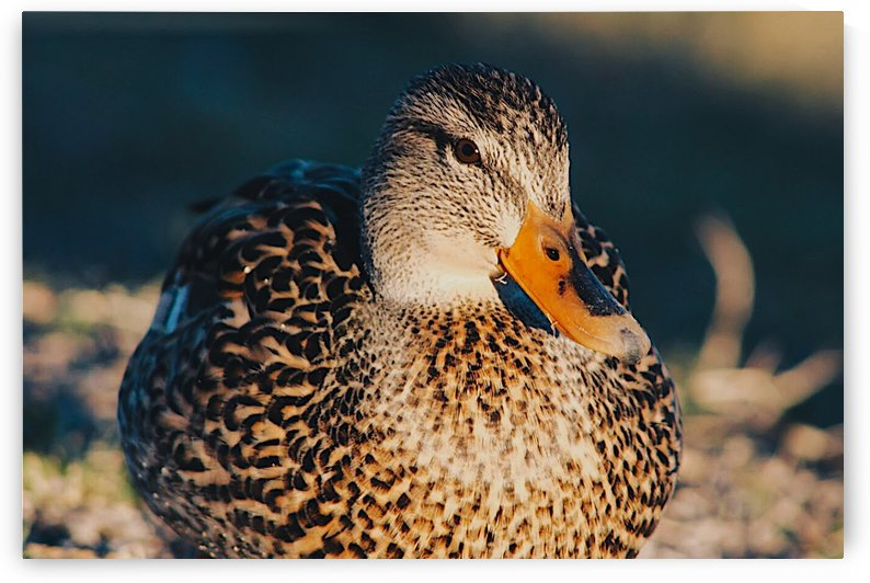 Dawning Duck by Morgan Ann Photography