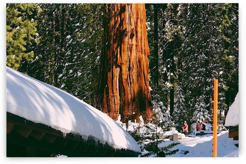 Sunny Sequoias by Morgan Ann Photography