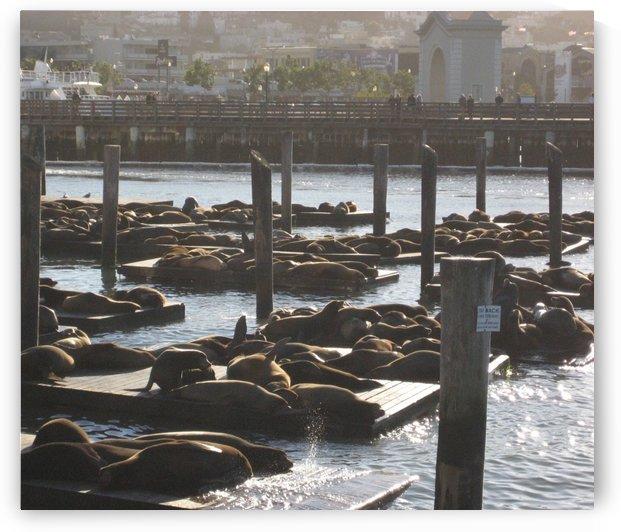 Sea Lions-  San Francisco by Ashden
