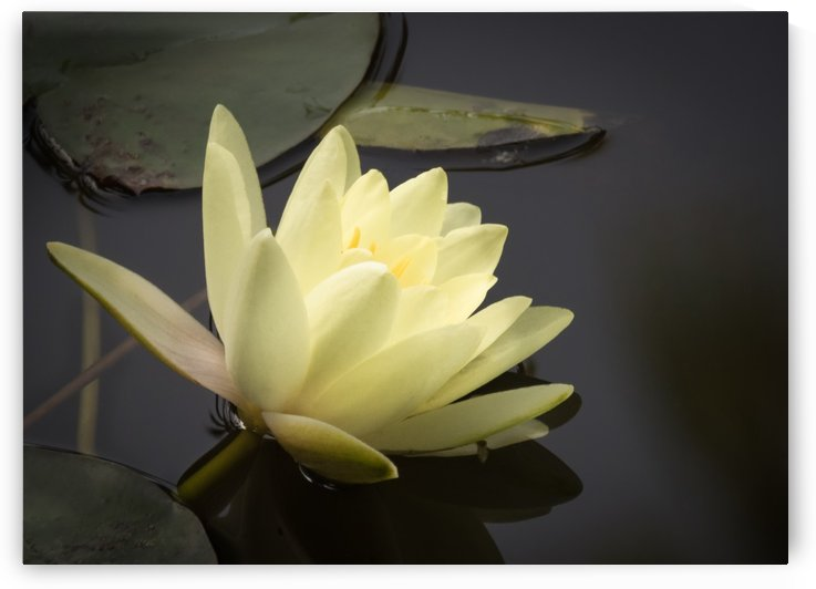 The Water Lily - Le Nenuphar by Carole Ledoux Créations Cl