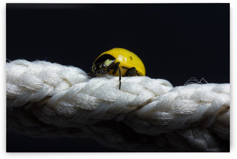 yellow ladybug climb up on white string in front of black background by Besa Art