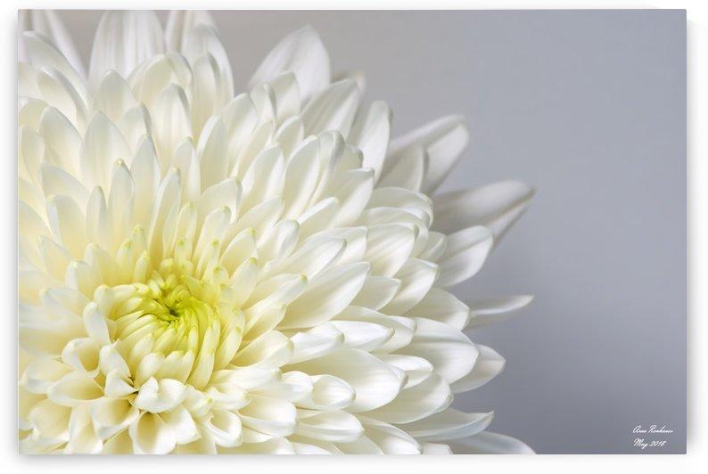 White Mum Flower by crystalfind