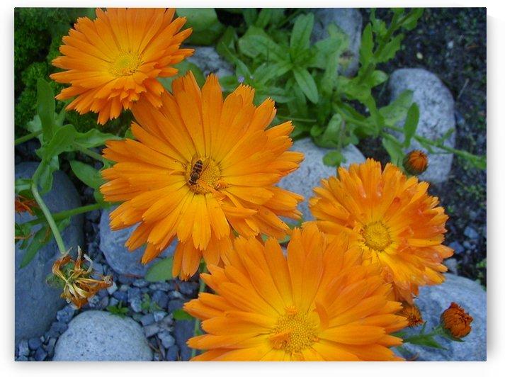 Orange Daisies & Bee by Jim Jones