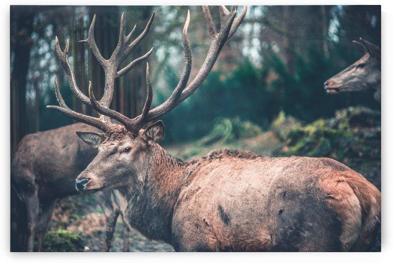 Deers In The Wild by One Simple Gallery