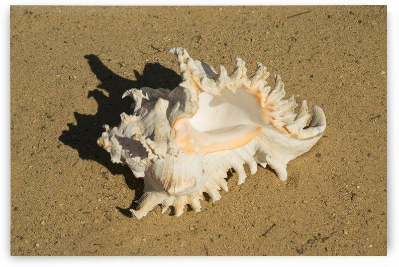 Murex Ramosun Rams Horn Shell by Frank Wilson