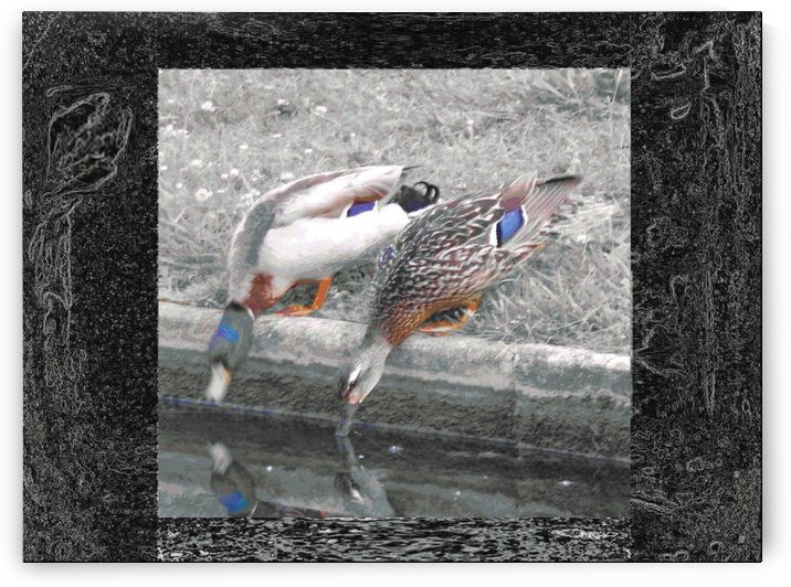 Pond_Edge_Ducks by Mark Graphics and Pics