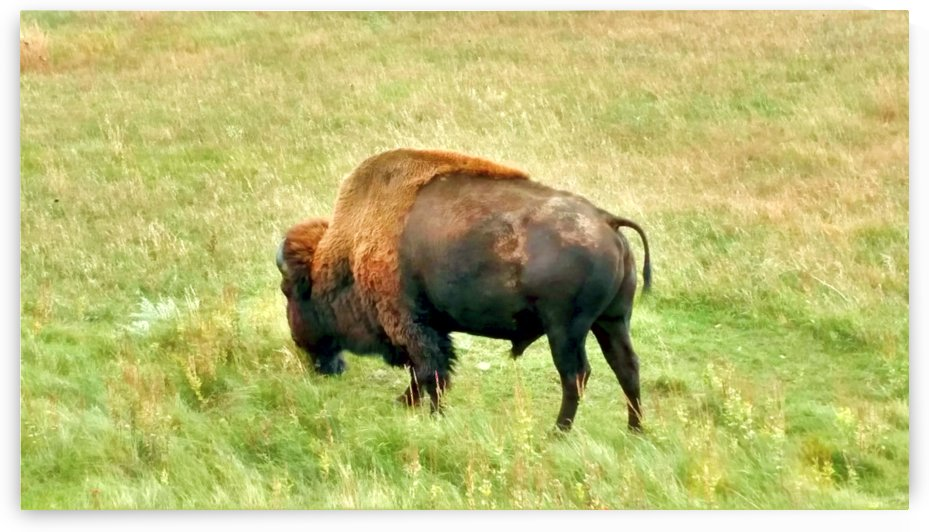 Lone Buffalo Custer State Park by AprilUhmazing